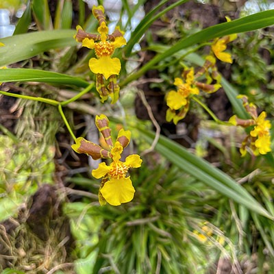 Oncidium longipes