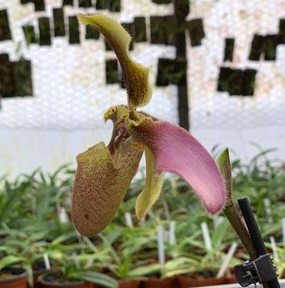 Paphiopedilum esquirolei
