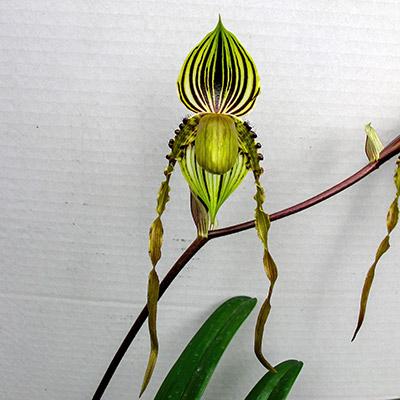 Paphiopedilum praestens var. striatum x sandereanum