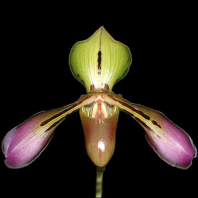 Paphiopedilum tigrinum