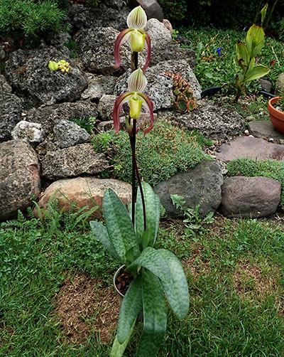 Paphiopedilum violascens x philippinense