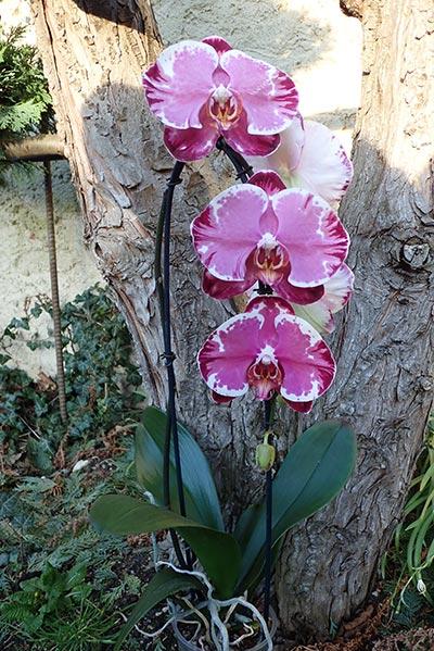 Phalaenopsis ,Sacrifice' Cascade blühend