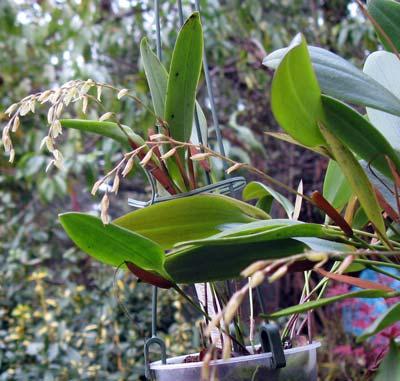 Pleurothallis loranthophylla