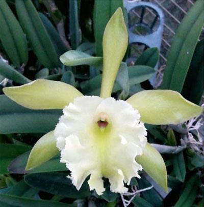 Rhyncholaelia Aristocrat(Rhyncholaelia glauca x R.dygbiana)