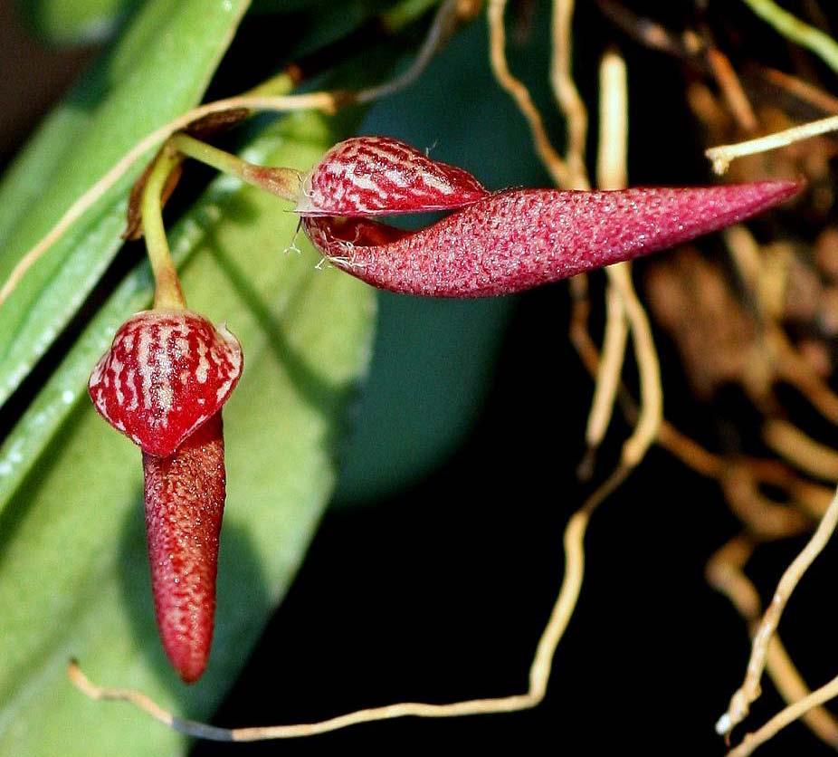 Bulbophyllum mirum