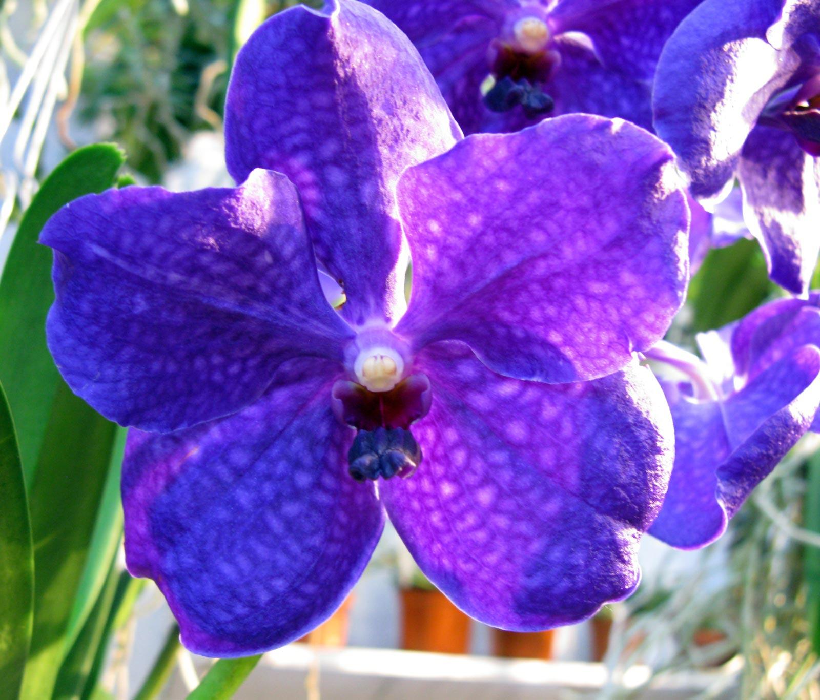Vanda Royal Blue