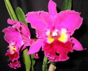 Blc. Sweet Anniversary 'Yellow Eye'