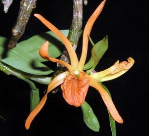 Dendrobium seidenfadenii