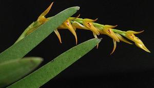 Pleurothallis crocea