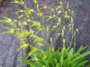 Anathallis linearifolia