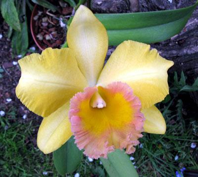 Blc. Malworth ,Orchidglade'