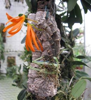 Dendrobium dickersonii