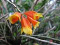 Dendrobium subclausum, var.: flox