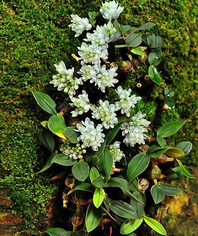 Dendrobium leucocyaneum