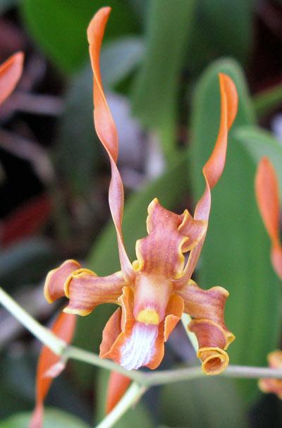 Dendrobium streberoceras