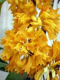 Dendrobium topaziacum