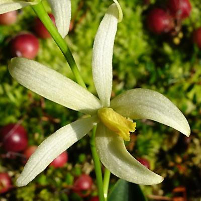 Laelia gracilis
