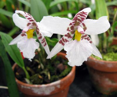 Odontoglossum (Rhynchosthele) rossii