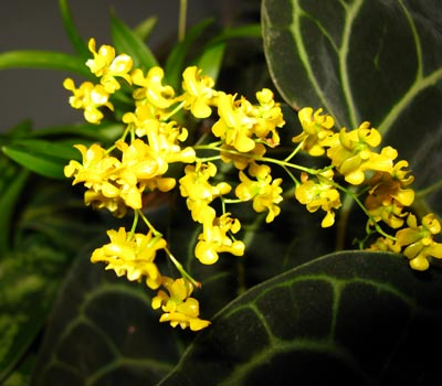 Oncidium cheirophorum