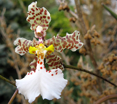Oncidium johnesianum