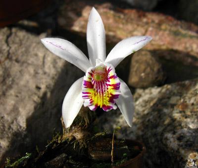 Pleione maculata thailändischer Typ