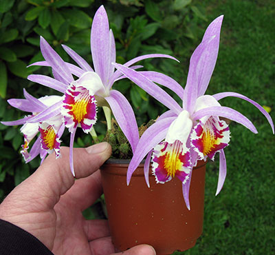 Pleione   x Lagenaria (natural hybrid from Nepal)