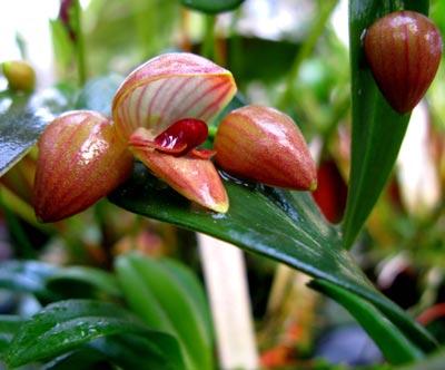 Pleurothallis palliolata