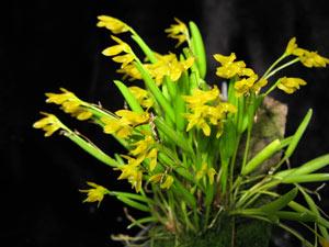 Pleurothallis sandereana