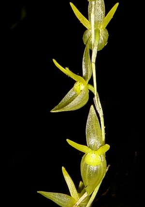 Pleurothallis spec. gelb