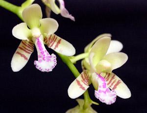 Sedirea japonica (Phalaenopsis japonica)